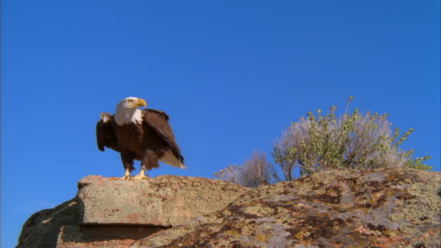 MS, Bald Eagle taking off from rock against clear sky, Boise, Idaho, USA