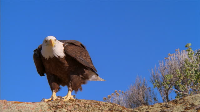 ms, bald eagle taking off from rock against clear sky, boise, idaho, usa - eagle bird stock videos and b-roll footage