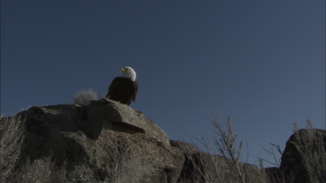 ws la bald eagle (haliaeetus leucocephalus) taking off from rock and flying against clear sky, boise, idaho, usa - full length stock videos & royalty-free footage