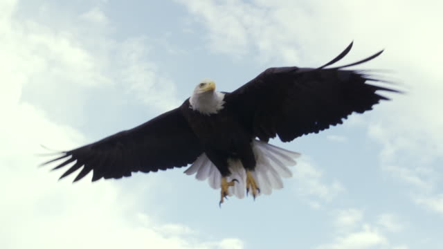 ms ts bald eagle taking off from rock / boise, idaho, united states - tierflügel stock-videos und b-roll-filmmaterial