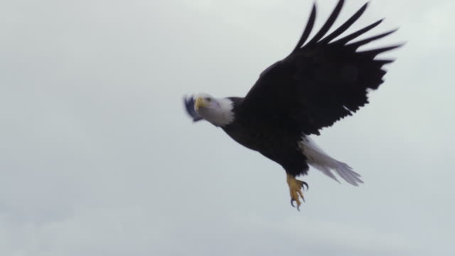 ms ts bald eagle taking off from rock edge / boise, idaho, united states - schwingen stock-videos und b-roll-filmmaterial