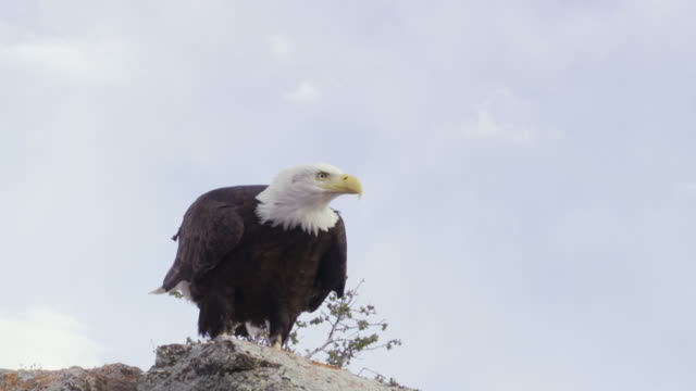 stockvideo's en b-roll-footage met ms ts bald eagle taking off slowly from rock edge / boise, idaho, united states - kant