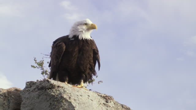 ms ts bald eagle taking off slowly from rock edge / boise, idaho, united states - eagle bird stock videos and b-roll footage