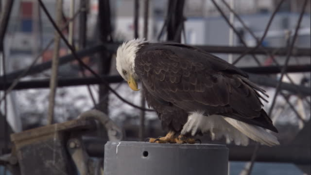 a bald eagle views its surroundings while perching near a harbour. available in hd. - perching stock videos & royalty-free footage
