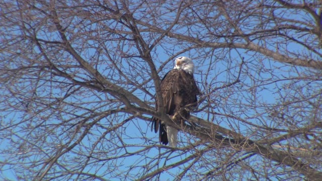 bald eagles at starved rock on february 22, 2014 in cary, illinois. - osservare gli uccelli video stock e b–roll