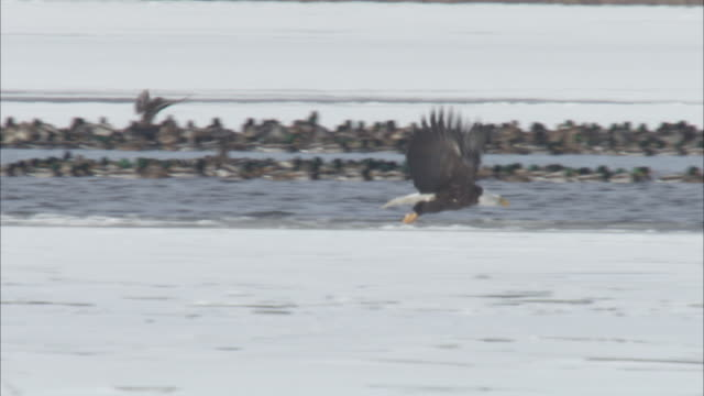 bald eagles chase and spar above icy water. - bird of prey stock videos & royalty-free footage