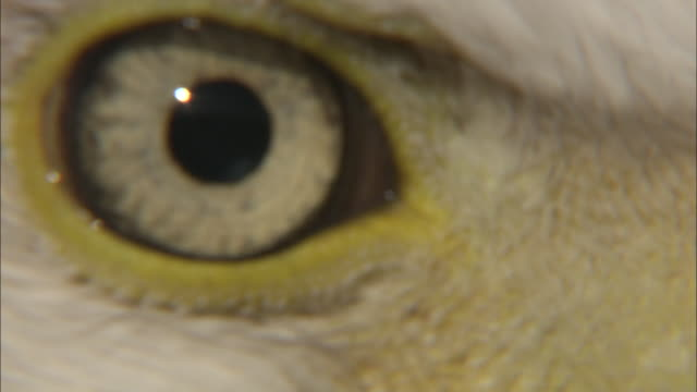 vidéos et rushes de ecu bald eagle's (haliaeetus leucocephalus) eye, boise, idaho, usa - aigle