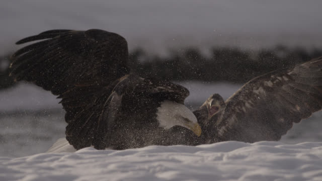 vídeos de stock, filmes e b-roll de bald eagles (haliaeetus leucocephalus) fight over salmon on snow, alaska, usa - fauna silvestre