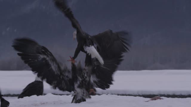 bald eagles (haliaeetus leucocephalus) fight over salmon on snow, alaska, usa - bald eagle stock videos & royalty-free footage