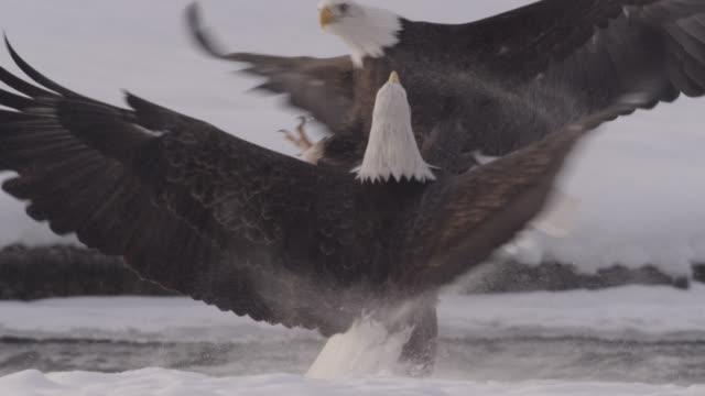 stockvideo's en b-roll-footage met bald eagles (haliaeetus leucocephalus) fight over salmon on snow, alaska, usa - alaska verenigde staten