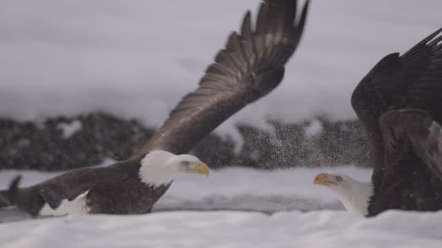 vidéos et rushes de bald eagles (haliaeetus leucocephalus) fight over salmon on snow, alaska, usa - rapace