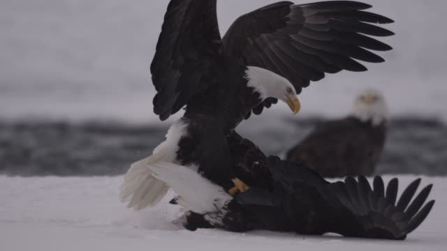 bald eagles (haliaeetus leucocephalus) fight over salmon on snow, alaska, usa - rivalry stock videos & royalty-free footage