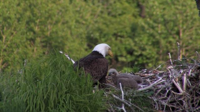 bald eagles nesting near katmai nat'l park, alaska - young bird stock videos & royalty-free footage