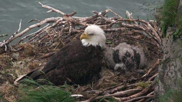 bald eagles nesting near katmai nat'l park, alaska - bird's nest stock videos & royalty-free footage