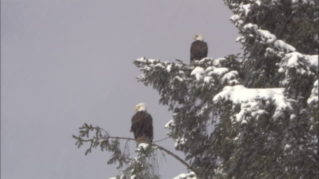 bald eagles perch in an evergreen tree during a snowstorm. available in hd. - snowflake stock videos & royalty-free footage