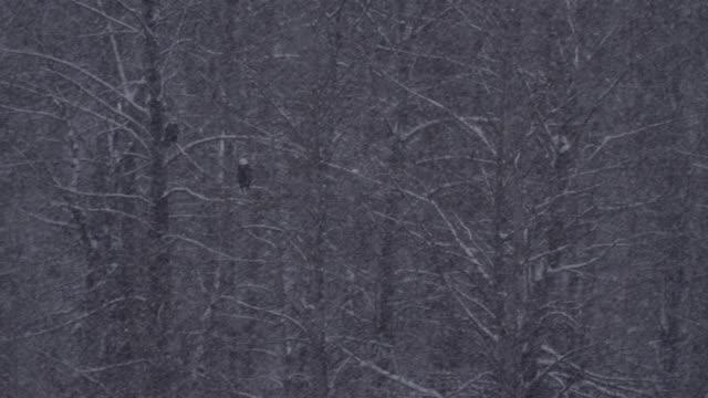 stockvideo's en b-roll-footage met bald eagles (haliaeetus leucocephalus) perched in forest in snow, alaska, usa - alaska verenigde staten