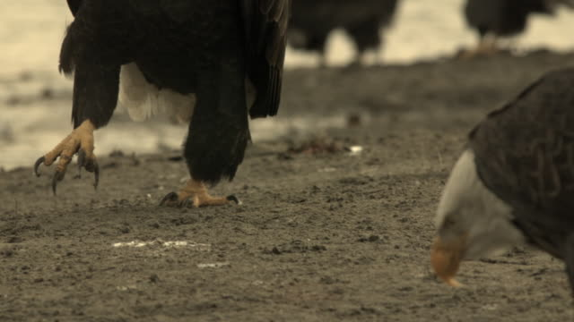 stockvideo's en b-roll-footage met a bald eagles struts along a beach as it forages along the chilkat river. - foerageren