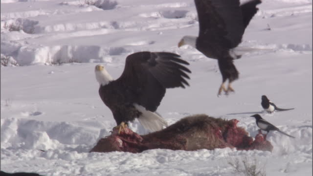 bald eagles (haliaeetus leucocephalus) swoop onto elk carcass, yellowstone, usa - elster stock-videos und b-roll-filmmaterial