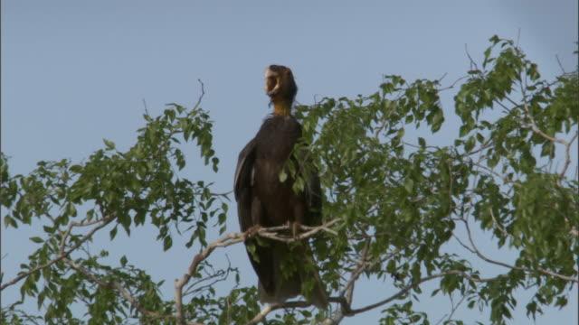 "bald female vasa parrot (coracopsis vasa) calls from tree, madagascar - ""bbc natural history"" stock videos & royalty-free footage"