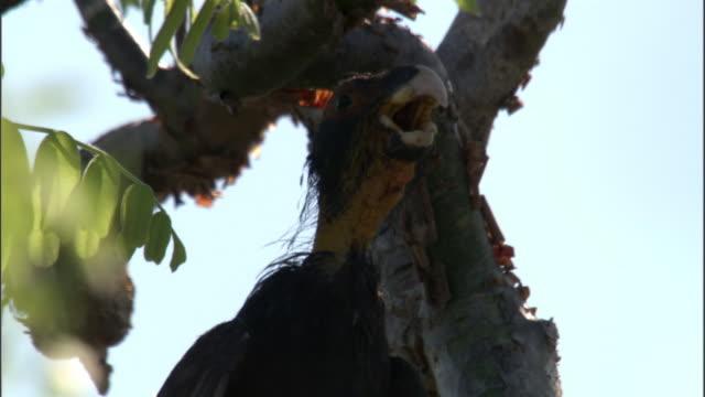 bald female vasa parrot (coracopsis vasa) calls from tree, madagascar - acacia tree stock videos & royalty-free footage