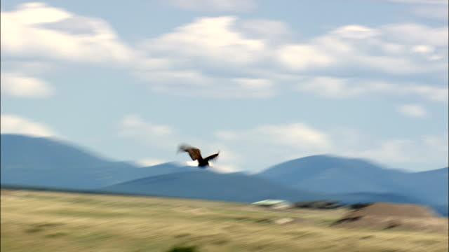 vidéos et rushes de aigles à tête d'aigle en vol-vue aérienne du montana, cascade county, états-unis - aigle