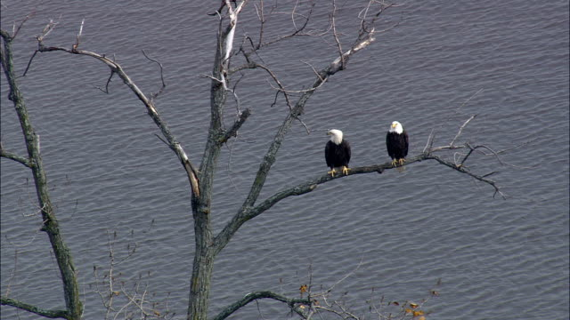 bald headed eagles - aerial view - new york,  ulster county,  united states - ulster county stock videos & royalty-free footage