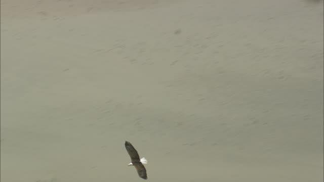 vidéos et rushes de bald headed eagles - comté d'ulster