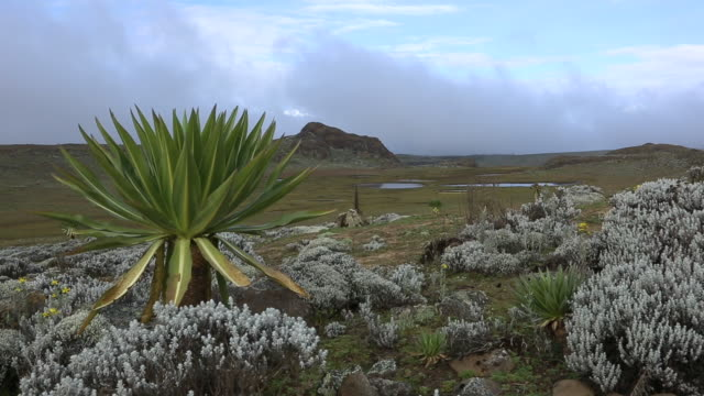 bale mountains national park ethiopia - endemic stock videos and b-roll footage