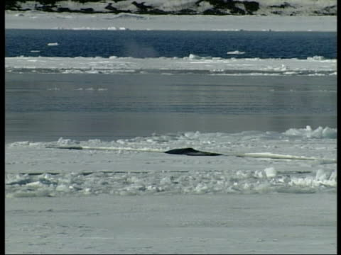 wa baleen whale surfacing amongst ice, antarctica - surfacing stock videos & royalty-free footage