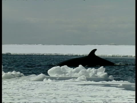 ms baleen whale surfacing amongst ice, antarctica - surfacing stock videos & royalty-free footage