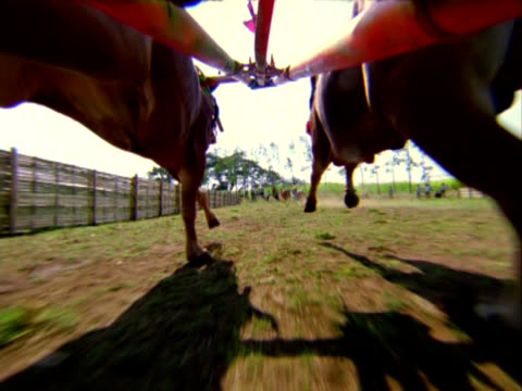 vídeos de stock e filmes b-roll de bali bull carrinho de câmara lenta exploração petrolífera - touro animal macho