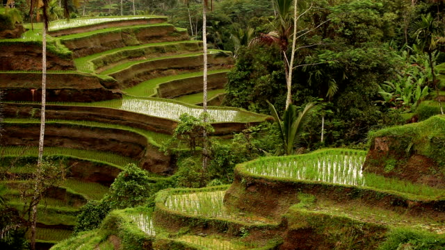 bali ubud indonesia rice paddy - ubud district stock videos & royalty-free footage