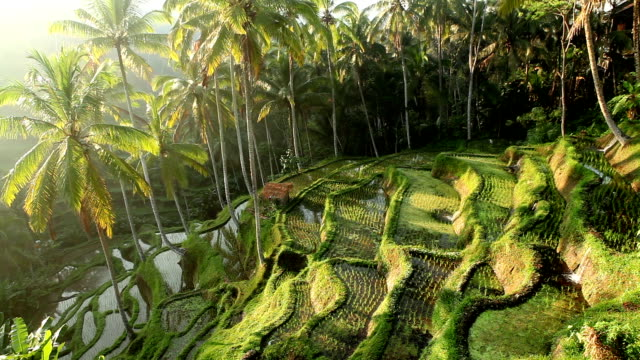 bali ubud indonesia rice paddy - rice terrace stock videos and b-roll footage
