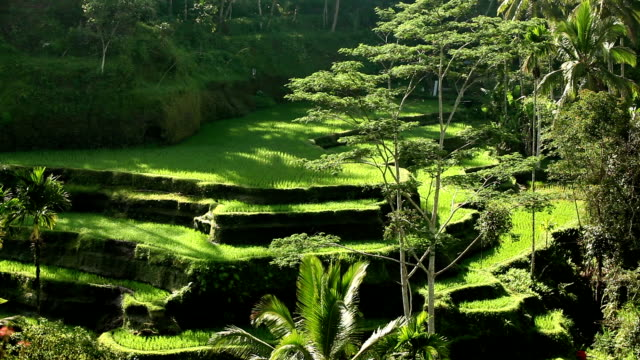 bali ubud indonesia rice paddy - ubud district stock videos & royalty-free footage