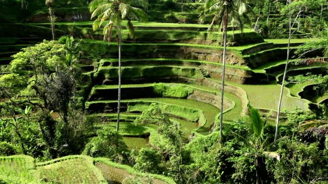 bali ubud indonesia rice paddy - ubud stock videos & royalty-free footage
