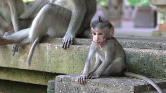 Balinese Long-Tailed Monkey at The Ubud Monkey Forest, Ubud, Indonesia