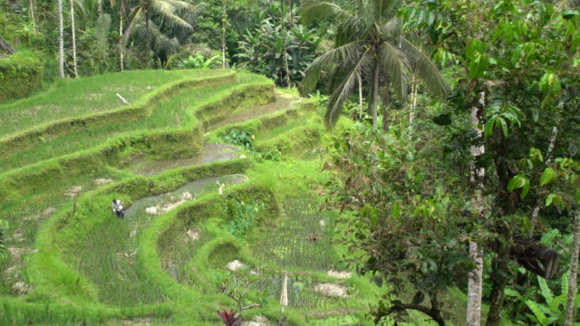 balinese man working at the tegallalang, the most famous rice field terrace of bali, indonesia - campuhan stock videos & royalty-free footage