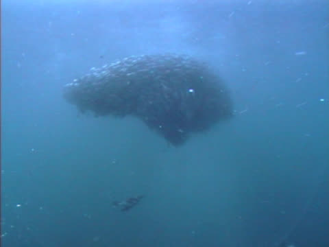 ws of ball of very nervous fish with auks feeding on them from beneath.   fish trying to stay in a tight ball otherwise known as a bait ball.  hebrides, scotland. - nordatlanten bildbanksvideor och videomaterial från bakom kulisserna