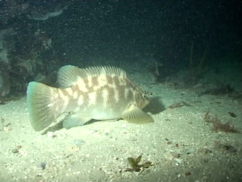 Ballan wrasse fish swimming