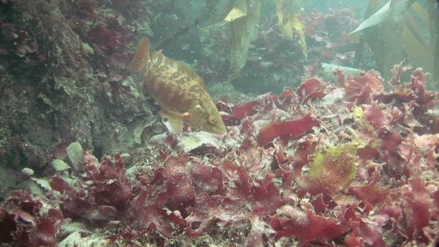 ballan wrasse (labrus bergylta) underwater at st bride's bay in pembrokeshire, wales - ペンブローク点の映像素材/bロール