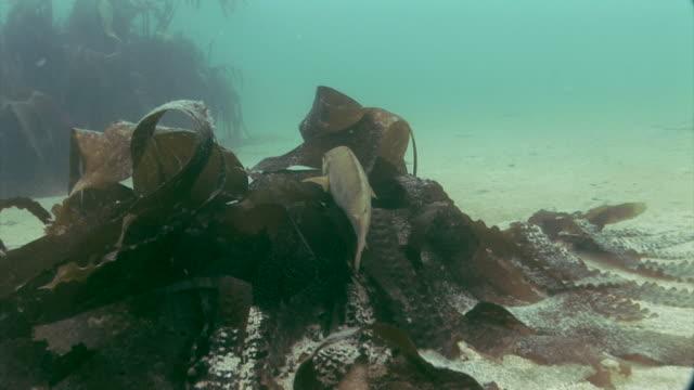 ballan wrasse (labrus bergylta) underwater at st bride's bay in pembrokeshire, wales - pembrokeshire bildbanksvideor och videomaterial från bakom kulisserna