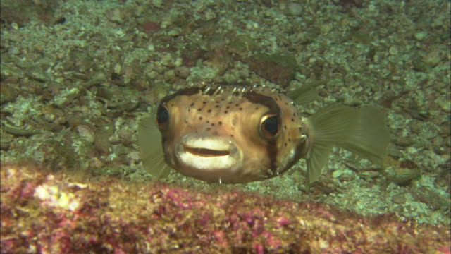 ballonfish, mexico  - seabed stock videos & royalty-free footage