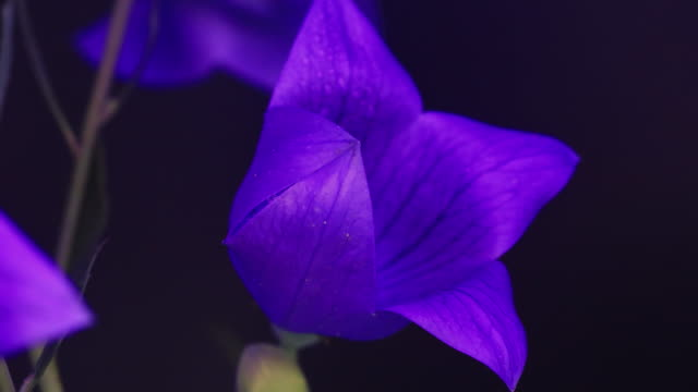 balloon flower (platycodon grandiflorus) blooming - named wilderness area stock videos & royalty-free footage