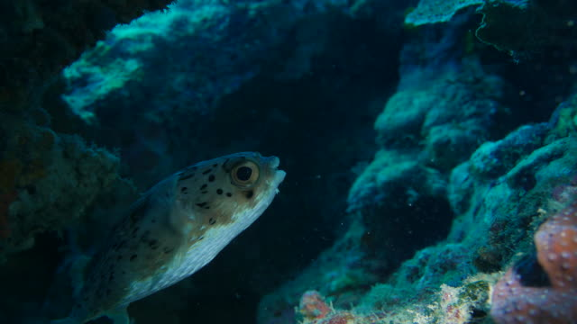 balloonfish hiding in coral reef - balloonfish stock videos and b-roll footage