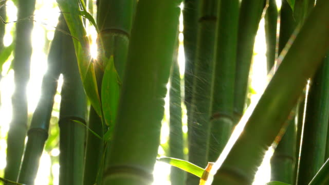 bamboo and sun - bamboo plant stock videos and b-roll footage