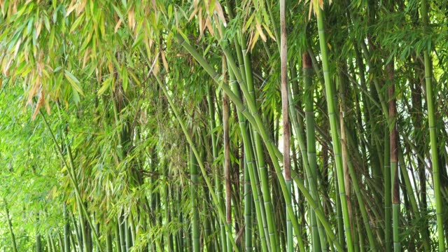 bamboo background - bamboo shoot stock videos & royalty-free footage