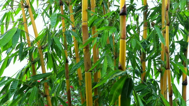bamboo bushes in the rain - 40 o più secondi video stock e b–roll