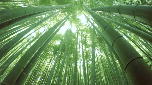 stockvideo's en b-roll-footage met bamboo forest - 4k - bamboo plant
