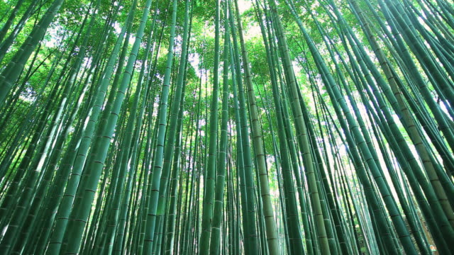 stockvideo's en b-roll-footage met ms bamboo forest / arashiyama, kyoto, japan - bamboo plant