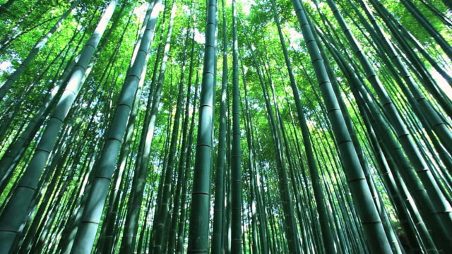 ms tu bamboo forest / arashiyama, kyoto, japan - bamboo plant stock videos and b-roll footage